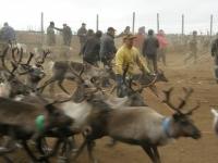Sami reindeer herding, Kuorpak