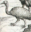 A cassowary from a 1611 book about Dutch exploration and trade