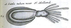 A cuttle fish from 'A voyage to New Holland' by William Dampier, published in 1703