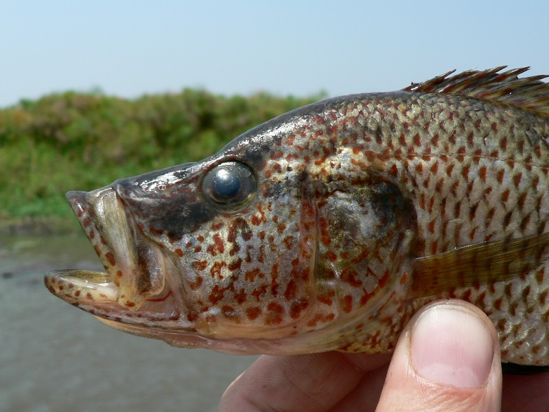 One of the new predator cichlid fish species that evolved in Lake Mweru. Credit Ole Seehausen